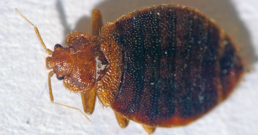 Here Is Your Complete Guide About The Cimex Solution For Bedbugs